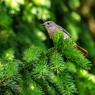bird on an evergreen branch