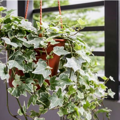 potted english ivy plant