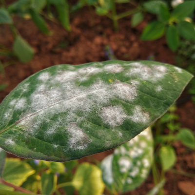 powdery mildew on a leaf