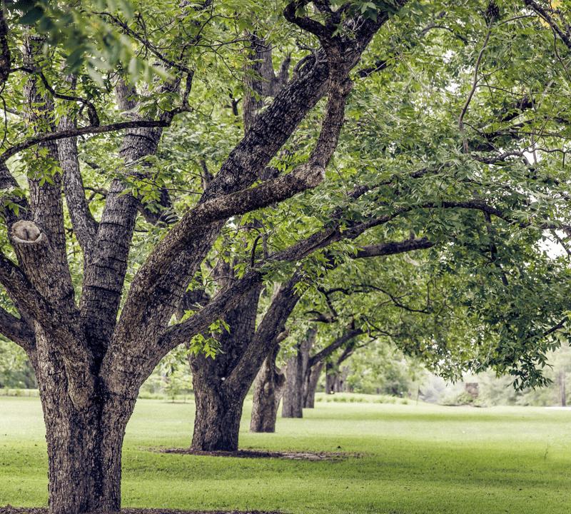 row of trees in Georgia